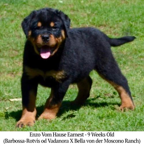 Enzo Vom Hause Earnest - 9 Weeks Old