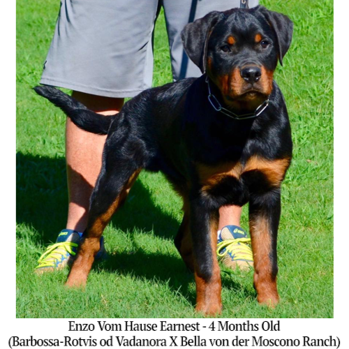 Enzo Vom Hause Earnest - 4 Months Old