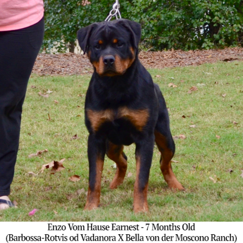 Enzo Vom Hause Earnest - 7 Months Old