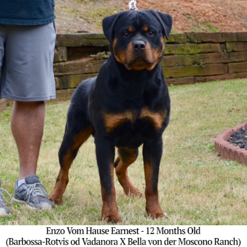 Enzo Vom Hause Earnest - 12 Months Old