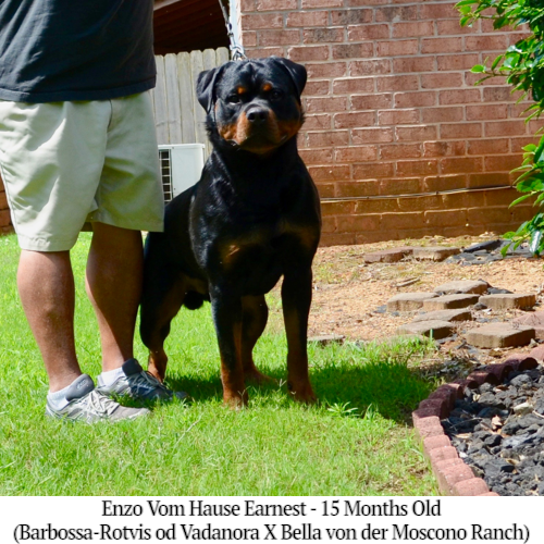 Enzo Vom Hause Earnest - 15 Months Old