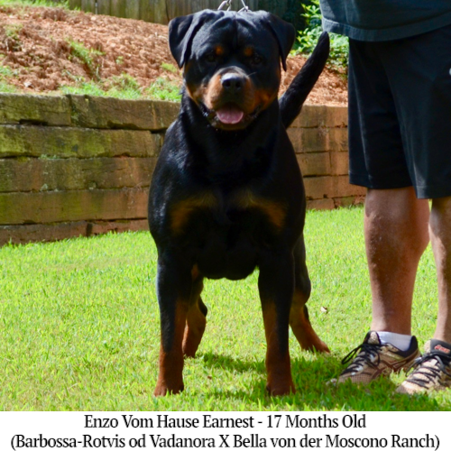 Enzo Vom Hause Earnest - 17 Months Old
