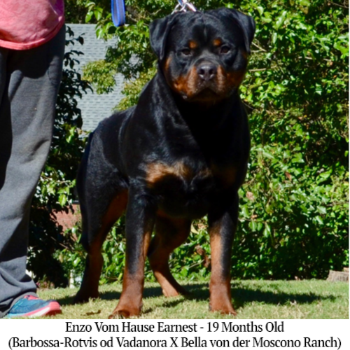 Enzo Vom Hause Earnest - 19 Months Old