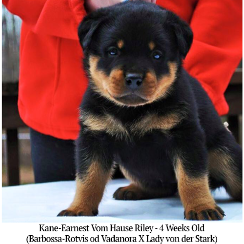 Kane-Earnest Vom Hause Riley - 4 Weeks Old