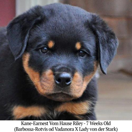 Kane-Earnest Vom Hause Riley - 7 Weeks Old