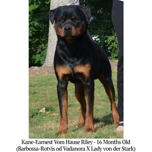 Kane-Earnest Vom Hause Riley - 16 Months Old