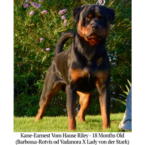 Kane-Earnest Vom Hause Riley - 18 Months Old
