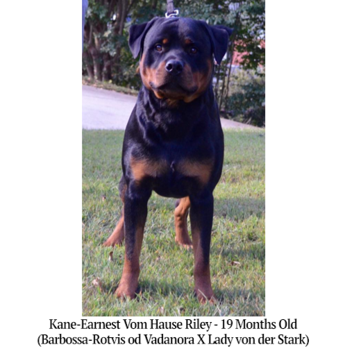 Kane-Earnest Vom Hause Riley - 19 Months Old