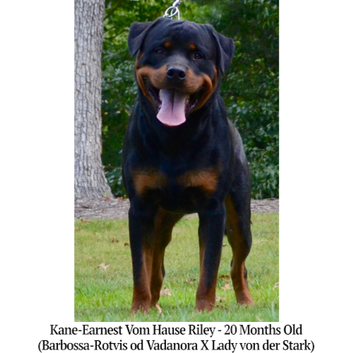 Kane-Earnest Vom Hause Riley - 20 Months Old