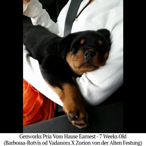 Genworks Pria Vom Hause Earnest - 7 Weeks Old