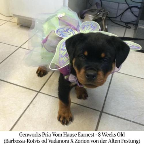 Genworks Pria Vom Hause Earnest - 8 Weeks Old