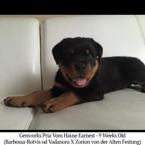 Genworks Pria Vom Hause Earnest - 9 Weeks Old