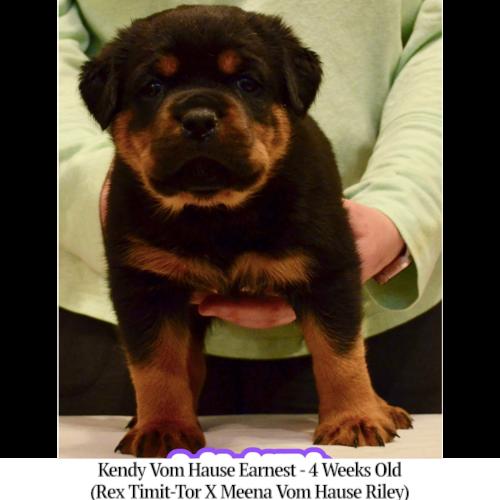 Kendy Vom Hause Earnest - 4 Weeks Old