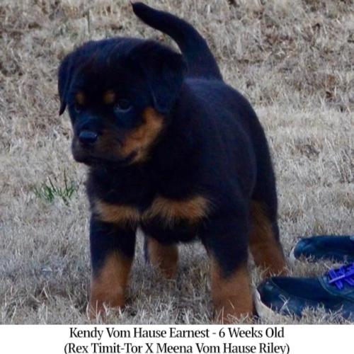 Kendy Vom Hause Earnest - 6 Weeks Old