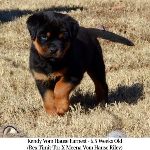 Kendy Vom Hause Earnest - 6.5 Weeks Old