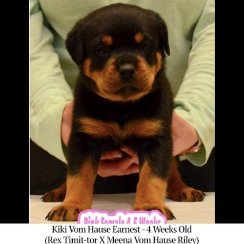 Kiki Vom Hause Earnest - 4 Weeks Old
