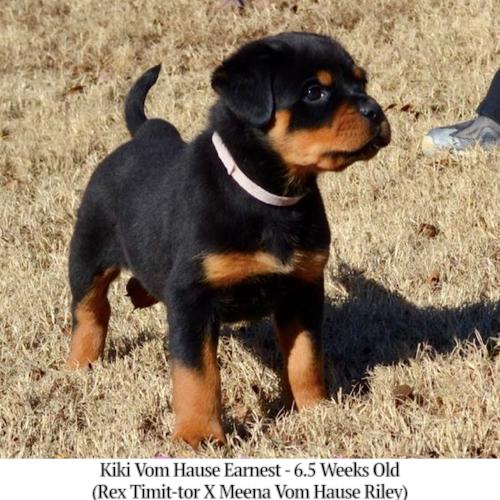 Kiki Vom Hause Earnest - 6.5 Weeks Old