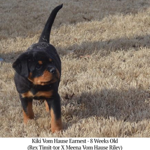 Kiki Vom Hause Earnest - 8 Weeks Old