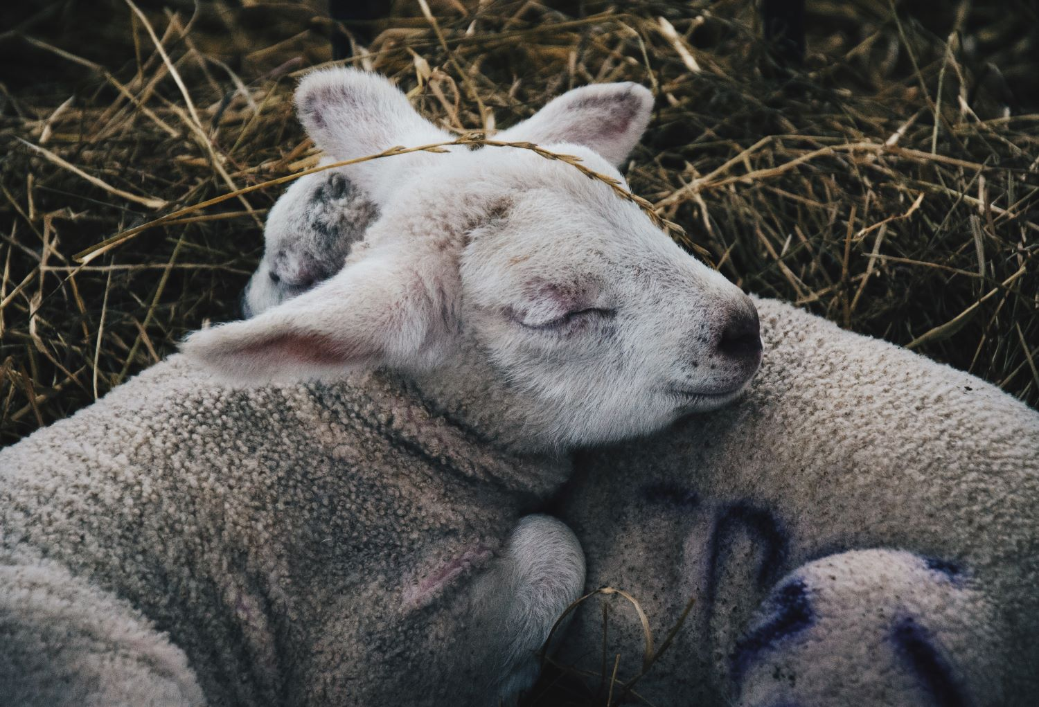 Two cuddly lambs sleeping peacefully