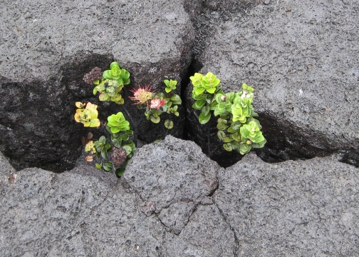 Crack in lava with plant growing from crack, symbolizing our internal urge to activate our heroism within