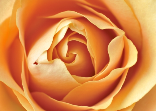 Center of Rose
