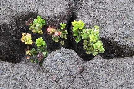 Tender plant emerging through lava