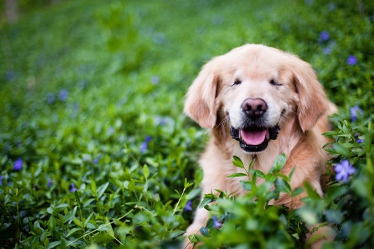 o-SMILEY-BLIND-RETRIEVER-570+%281%29.jpg