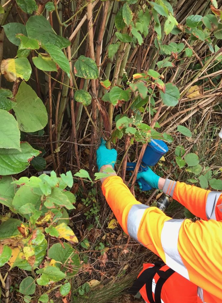 Glysophate injected to kill root and rhizome - Japanese Knotweed Railway