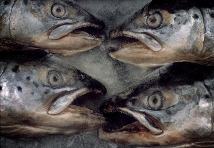fisk115.jpg