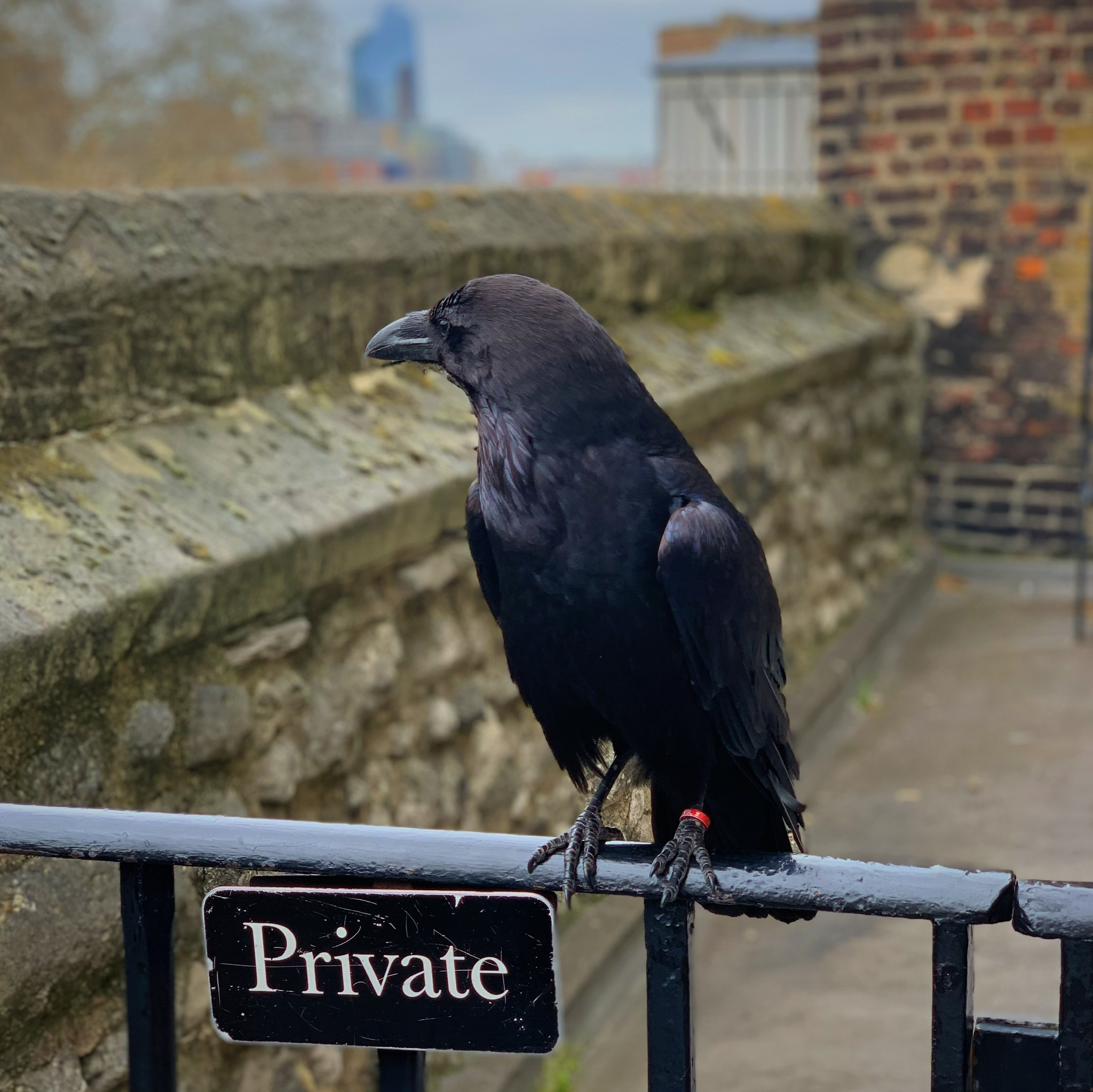 A permanent resident of the Tower of London