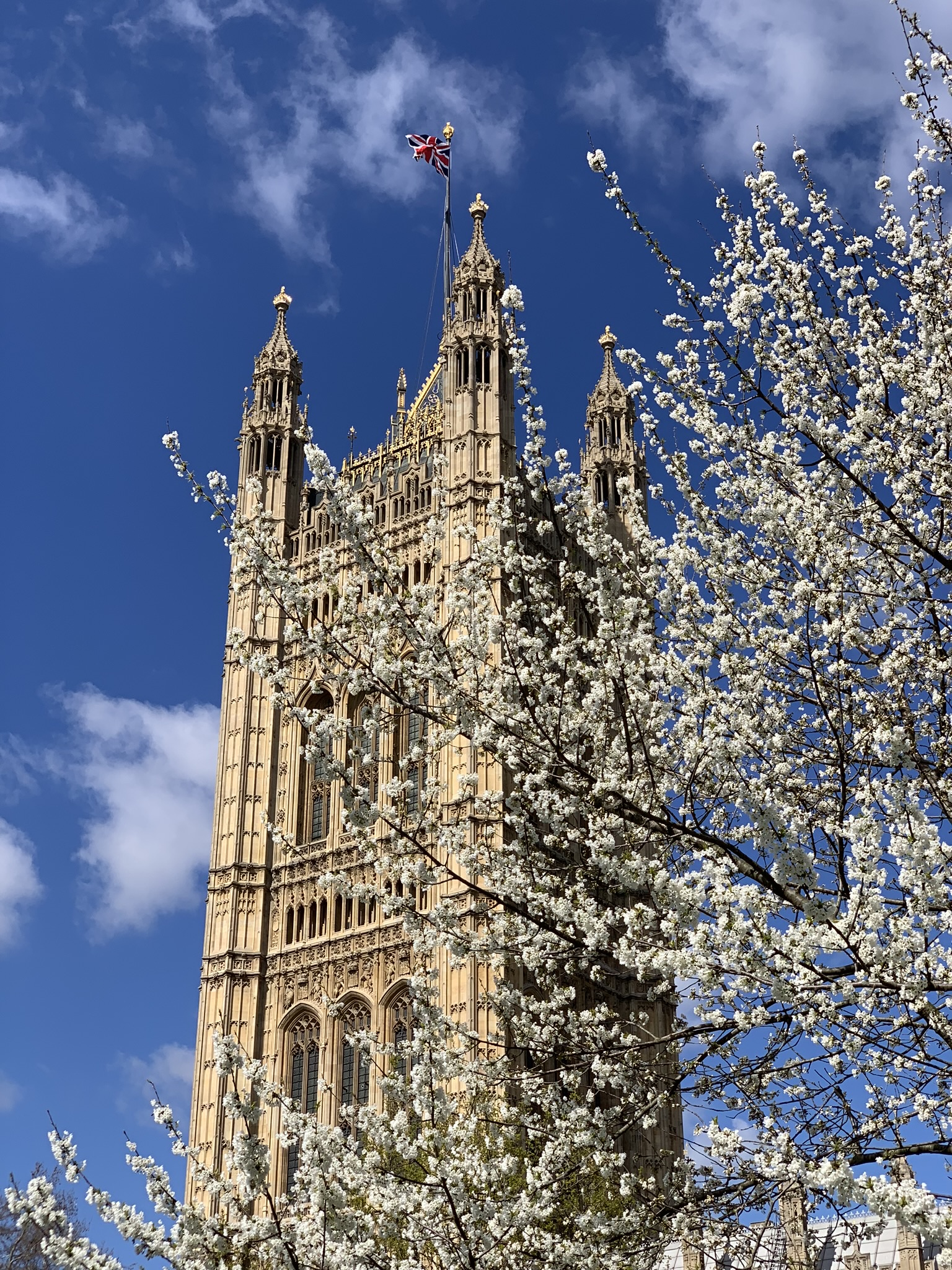 Looking at Victoria Tower through the cherry blossoms
