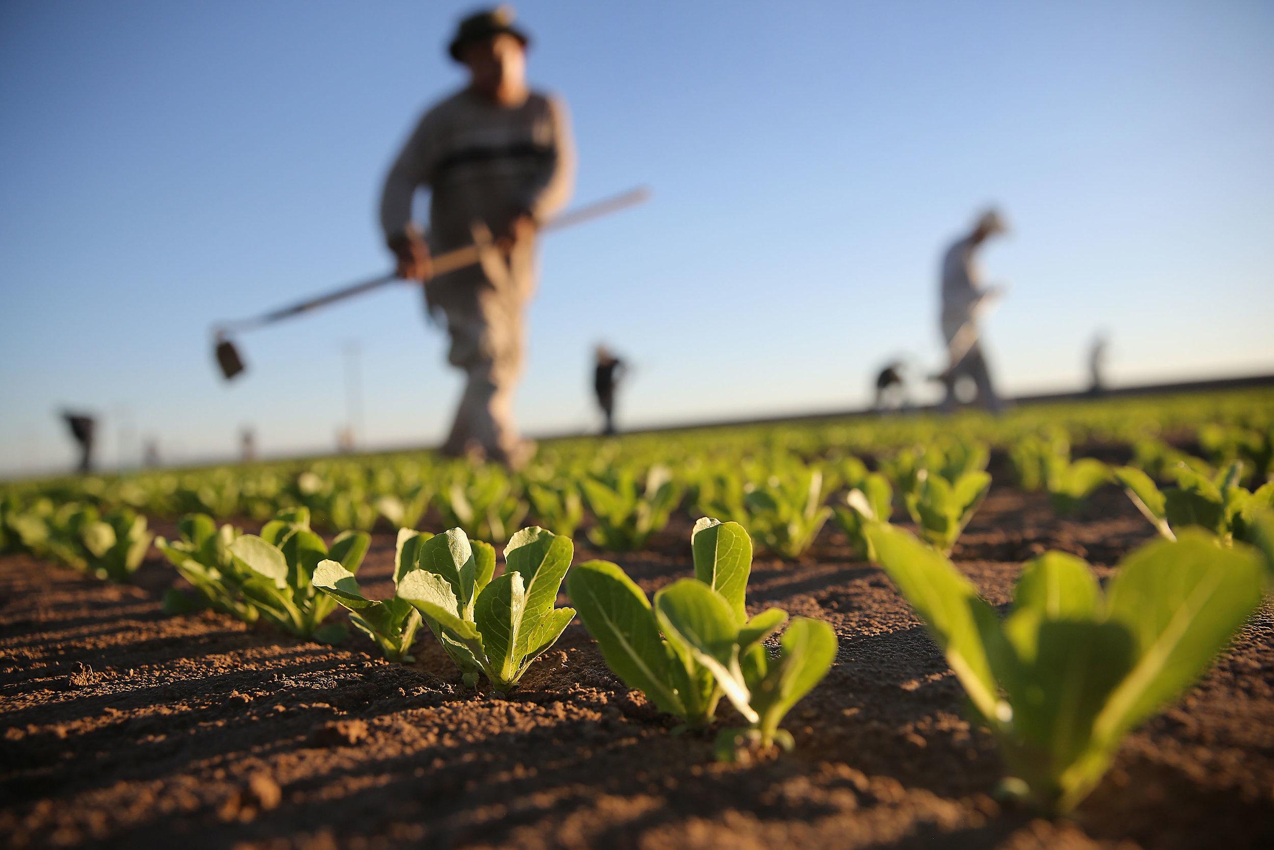 Lettuce Field.jpg