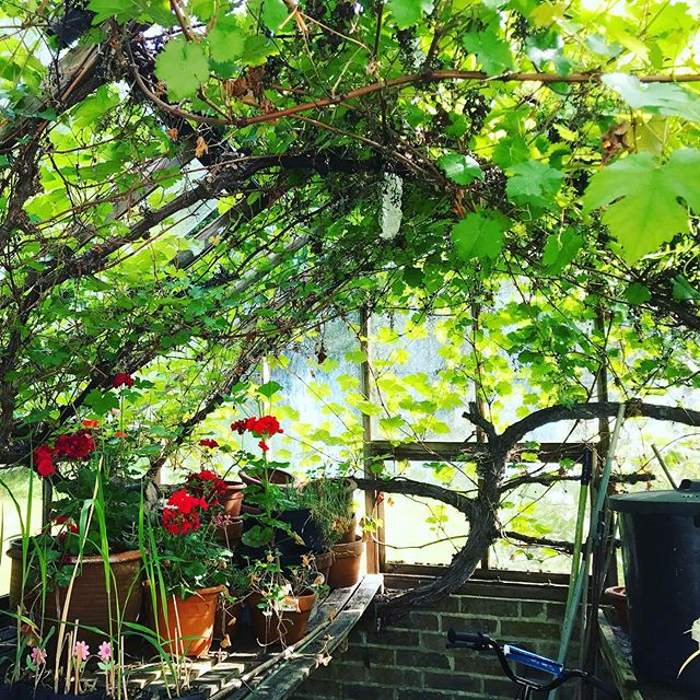Cannot get over the magic of this vine covering the greenhouse ceiling 🥰 of a stunning garden in Brede 🌿 . . . . . #studiobrio #gardendesign #garden #greenhouse #wabisabi #vine #sussex #plantsofinstagram