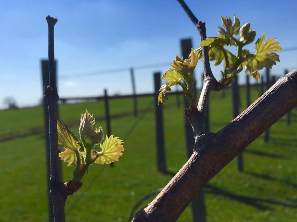 Vine at 3 Texans Winery