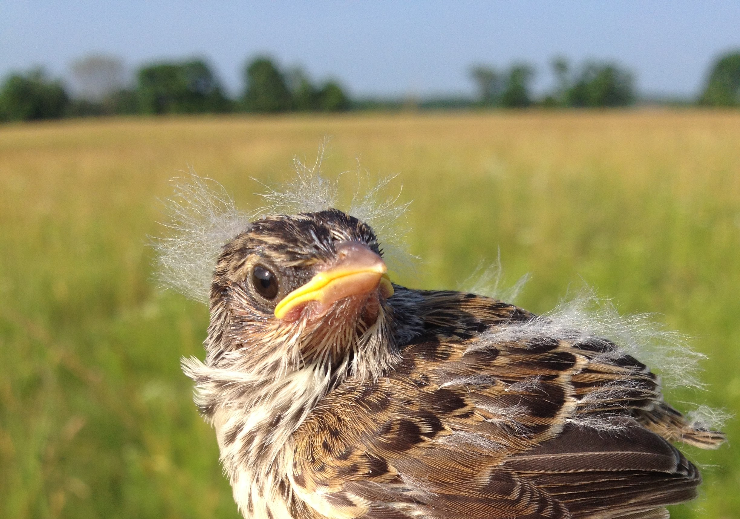 A young Grasshopper Sparrow surveys its hayfield habitat in central New Jersey.