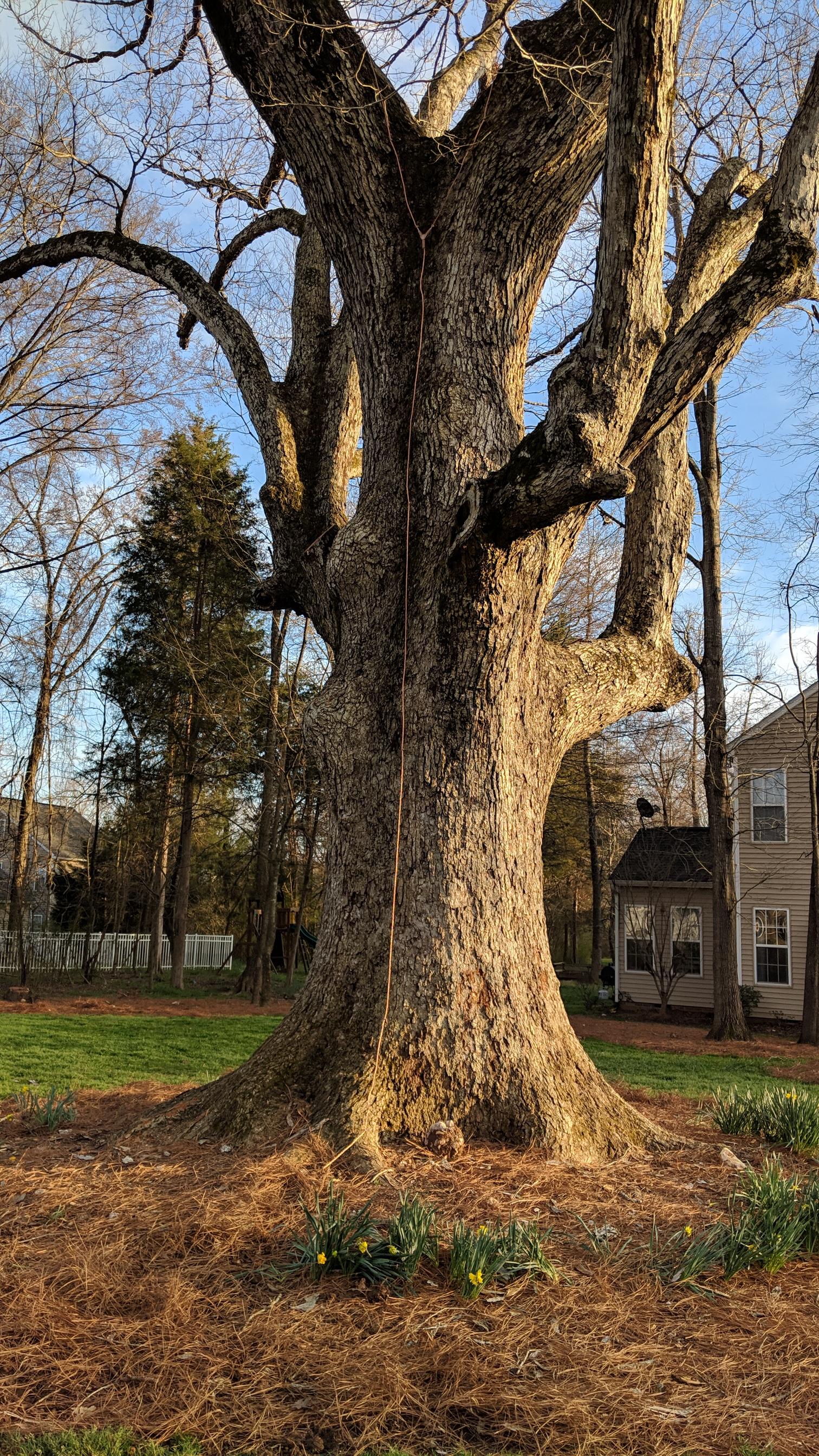 Lawson 150+ Year Old Heritage Oak Tree