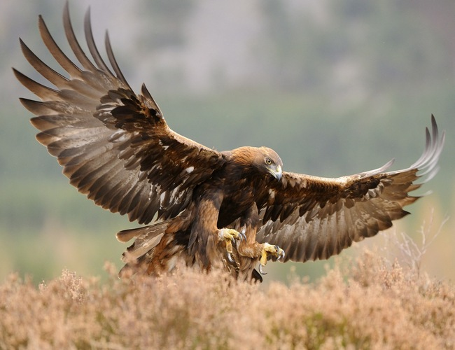 Golden-Eagle-Bird-Pictures-Free-Download.jpg