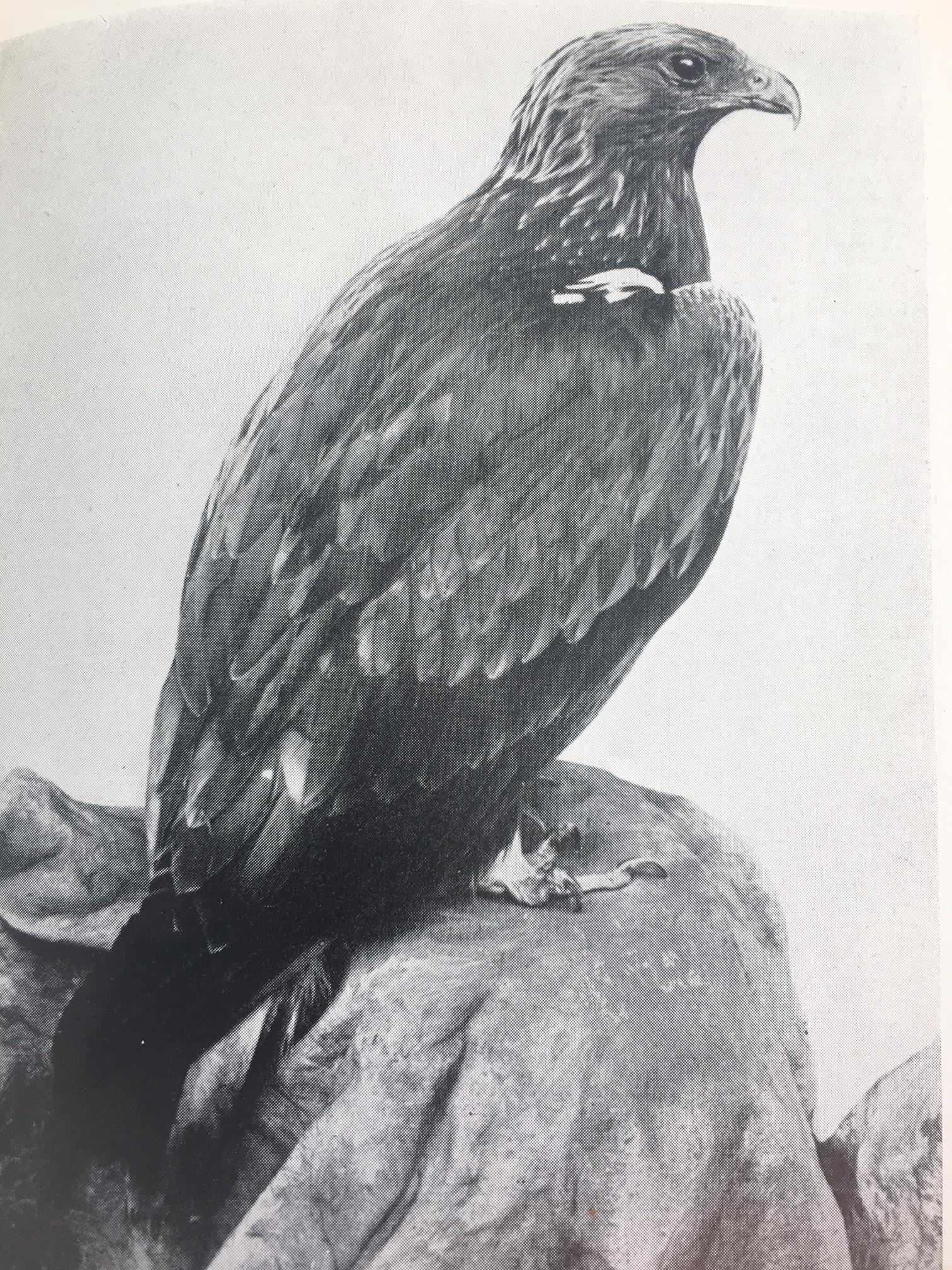 Old Golden Eagle.JPG