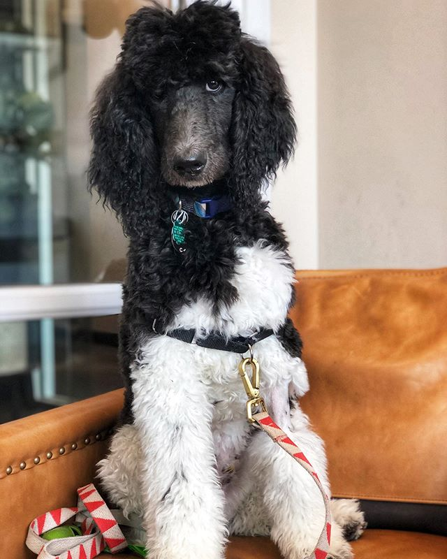 @egon_thepoodle is ready for a cut. #sideeye #poodlesofinstagram #poodles #standardpoodle #standardpoodlesofinstagram #solasalon #chicago #chicagodoodles @chicago @solachicago @solasalons @standardpoodleway @poodles.lovers.page @poodles_and_aussiedoodles