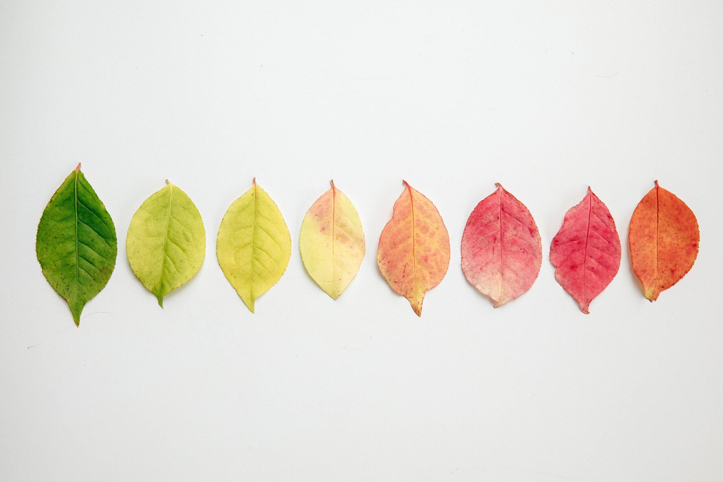 flat-lay-of-autumn-leaves-changing-color.jpg