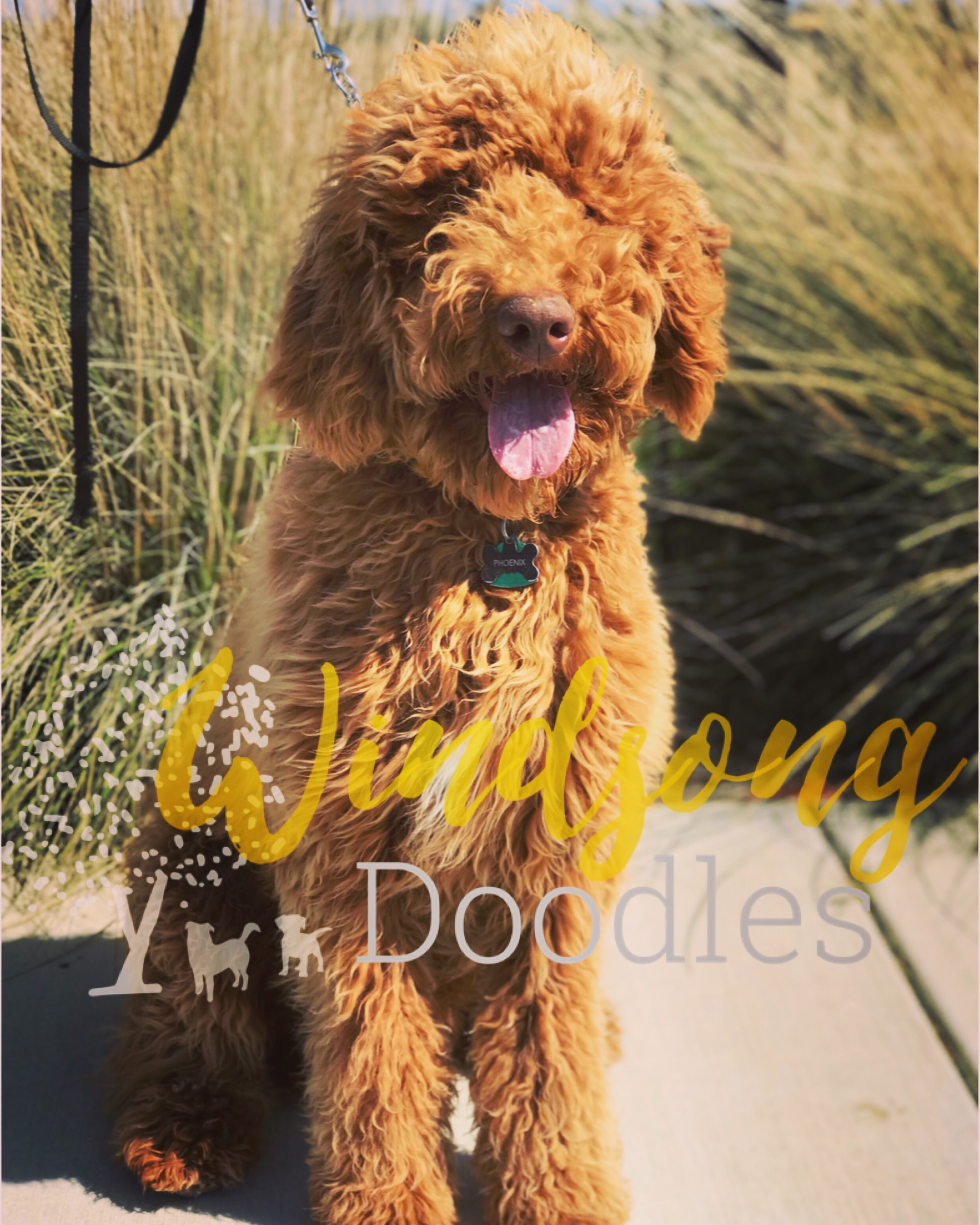 """Windsong's Rising Phoenix """"Phoenix"""" - Phoenix is the most laid back and mellow giant!! We love his temperament and his gorgeous long, shaggy doodle coat. Phoenix is adored by his wonderful guardian family. He will join our program in Fall 2019 and we are excited to see what he will produce!Phoenix's Stats:Generation: Standard F1b Goldendoodle Coat: Wavy Color: Red (e/e, b/b, IC clear, Cu C/Cu C, S/sP, sd/sd) Size: Standard 63 lbs.Health Testing:-OFA Hips Prelim Fair -OFA Elbows Prelim Normal -Eyes: OFA clear/normal -Degenerative Myelopathy clear -Ichthyosis clear -Neonatal Encephalopathy w/ seizures clear -Progressive Retinal Atrophy 1 & 2 clear -Progressive Rod-Cone degeneration clear -vWD clear"""