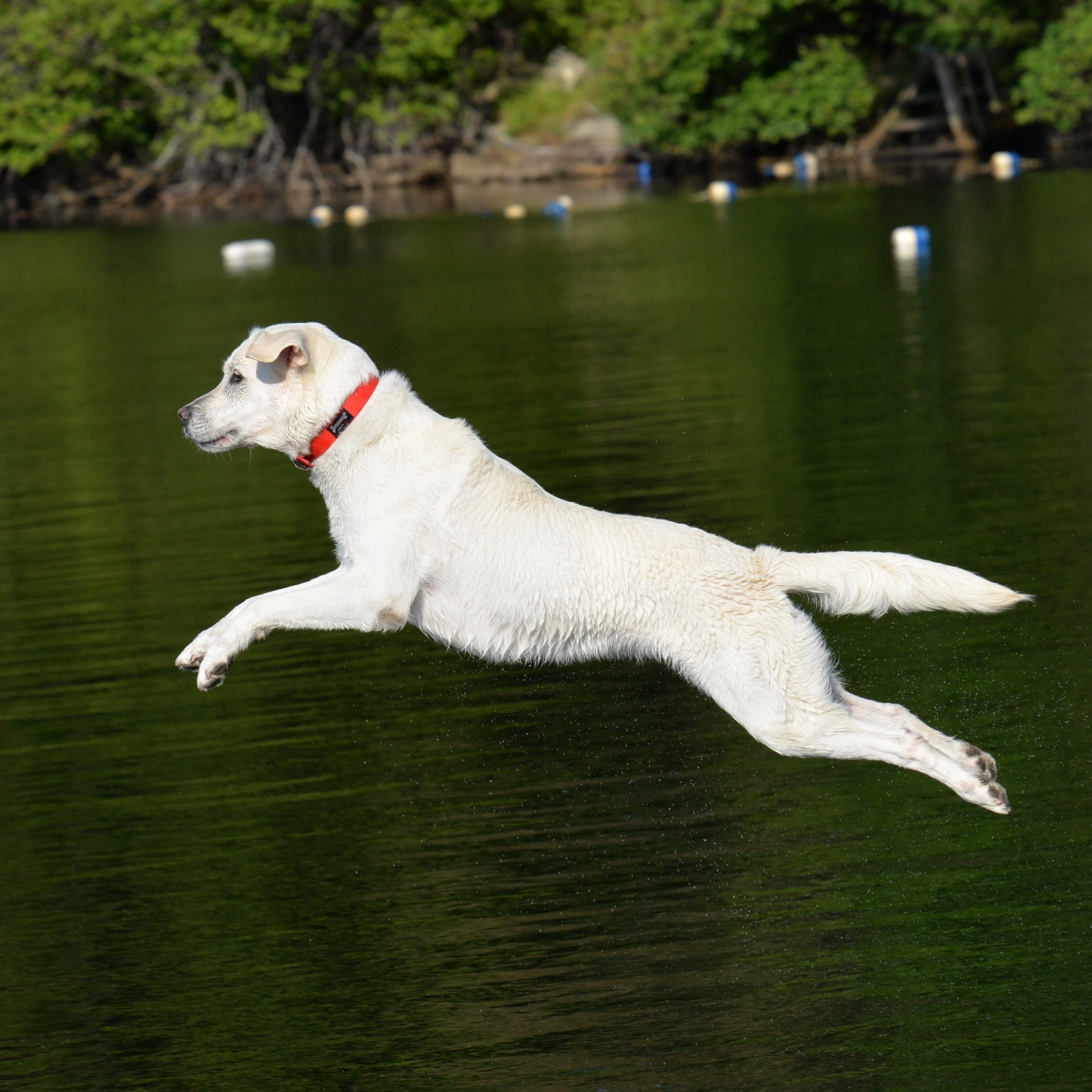 Dock Diving - In dock diving, dogs race down a dock then fly off the end and into the water. Distance is the goal. Dock jumping isn't just for big retrievers — if your dog loves water and loves to jump, definitely give it a try! This is always an extremely popular part of Camp Unleashed and great for amazing flying photo ops! If your dog has never done it, we specialize in teaching beginners!