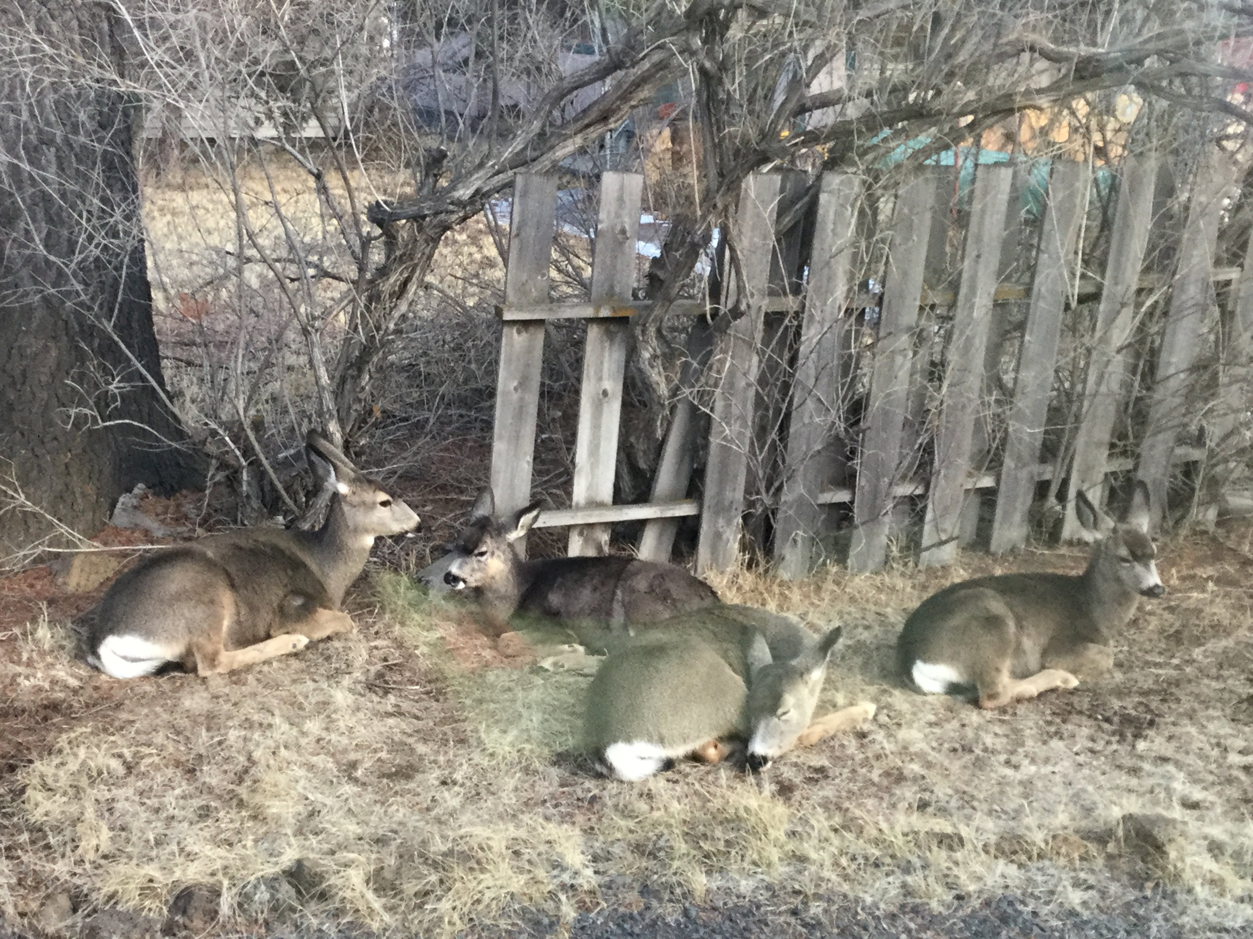 our resident deer napping out side the studio