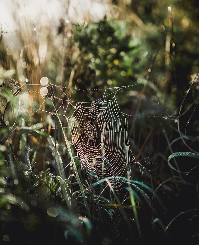 Morning spider webs, there something magical about them. ✨ Like there's a secret magical world inside those fragile threads that makes up the spider web. Little drops of dew, like diamonds in a solar system circling around this universe.  Or maybe it's just me half awake stumbling down the road with coffee in one hand a the dogs running around my feet while I make up stories in my own head. At least I have fun on my own. 🙄☺️✨🕷 Also, did you know it's not uncommon for spiders to eat their own web every morning to recoup some of the energy that went into making the web in the first place, and then they repeat that same process next evening and morning. I don't know about you, but that is the type of fun facts I like to bring to a party ☺️💚