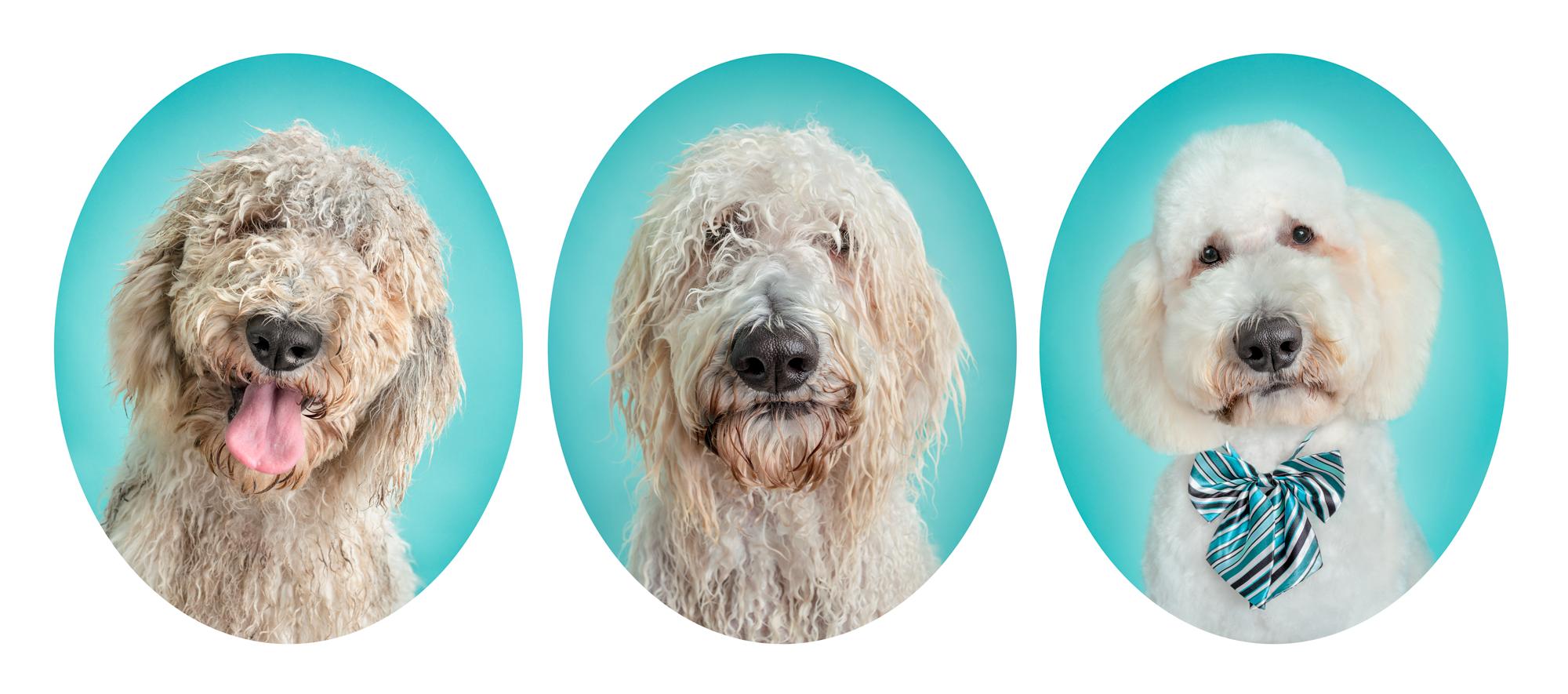 Poodle Dog Melbourne