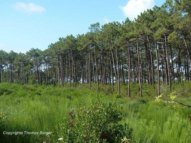 Most of the land that consisted of moving sand dunes only 200 years ago has since been stabilized and planted with forests.