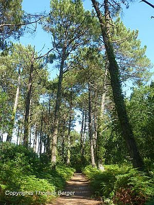 The most important tree is the Maritime Pine (Pinus pinaster), and the forest of the Landes de Gascogne is the largest planted forest of Maritime Pine in Europe.