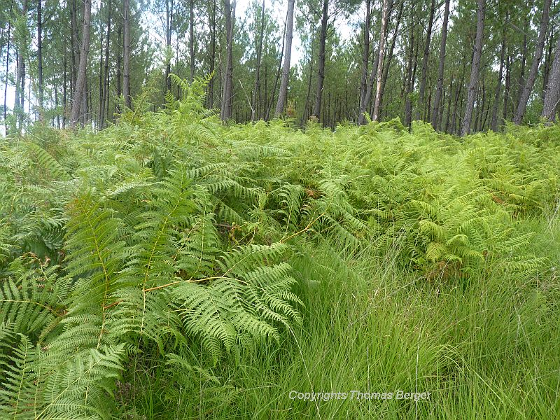 The Bracken Fern (Pteridium aquilinum) often covers the ground in pine forests. It has the tendency to be invasive.