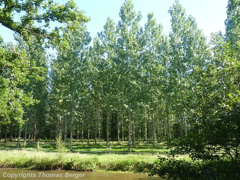 Quaking Aspen (Populus tremulus) was planted here, a location with a high water threshold.