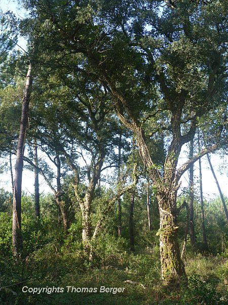 Several species of oaks are also very common in the Gascogne. The most conspicuous is the cork oak (Quercus suber). It is an evergreen species with small leaves.